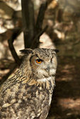 Owl portrait beautiful animal — Stok fotoğraf