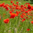 Beautiful poppies field — Stock Photo