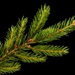 Fresh green fir branch isolated on black background — Stock Photo #16390523