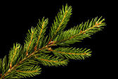 Fresh green fir branch isolated on black background — Stock Photo
