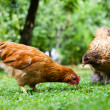Stock Photo: Hen in meadow