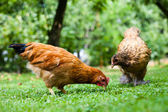 Hen in the meadow — Stock Photo