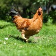 Chicken on the grass in village garden — Stock Photo