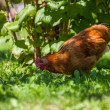 Chicken on the grass in village garden — Stockfoto