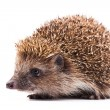 Wild hedgehog isolated on white — Stock Photo