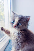 Persian kitten, sitting by the window — Stock Photo