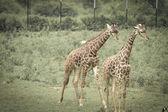 Giraff walking — Stock Photo