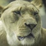 Lioness — Stock Photo #13192266