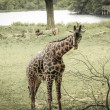 Stock Photo: Giraff