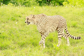 Cheetah walking — Stock Photo