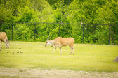 Oryx grazing — Stock Photo