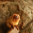 golden lion tamarin — Stock Photo #28182283