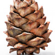 Single cedar cone isolated on white background — Stock Photo