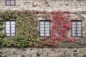 Windows and ivy — Stock Photo