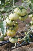 Tomaten raf — Stockfoto