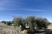 Old olive — Stok fotoğraf