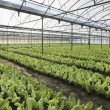 Chard growing greenhouse — Stock Photo