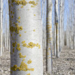 Foto de Stock  : Poplar reforestation