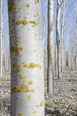Poplar reforestation — Stock Photo