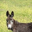 Young donkey  — Stock Photo