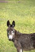 Young donkey — Stock Photo
