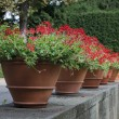 Stock Photo: Geraniums