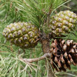 Stock Photo: Pinus