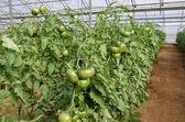 Tomato — Стоковое фото
