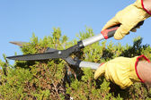 Garden work pruning hedge sky background — Stock Photo