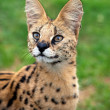 Stock Photo: Serval portrait