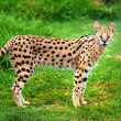 Alert serval cat — Stock Photo #18860163