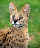 Serval portrait — Stock Photo