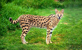Alert serval cat — Stock Photo