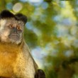 Lone Capuchin Monkey — Stock Photo