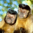 Capuchin monkey pair — Stock Photo #28381083