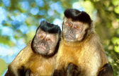Capuchin monkey pair — Stock Photo