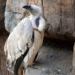 Stock Photo: Cape Vulture
