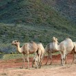Five camels — Stock Photo