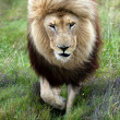 Lion on move — Stock Photo #34036421