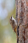 Brown Creeper (Certhia americana) — Stock Photo