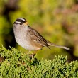 White-crowned Sparrow (Zonotrichia leucophrys) — Stock Photo