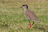 Crowned Lapwing (Vanellus coronatus) — Stock Photo