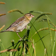 Female Bobolink (dolichonyx oryzivorus) — Stock Photo