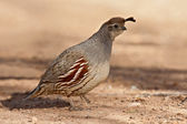 Gambel's Quail (Callipepla gambelii) — Stock Photo