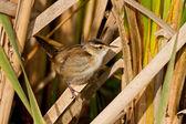 Marsh Wren (Cistothorus palustris) — Stock Photo