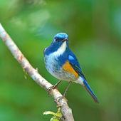 Pájaro de robin bush flanqueado de naranja — Foto de Stock