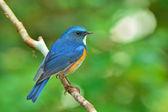 Orange-flanked Bush Robin bird — Stock Photo