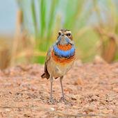 Bluethroat Bird — Stock Photo