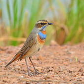 Bluethroat Bird — Stock Photo
