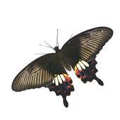 Mariposa negra — Foto de Stock